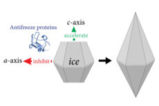 Antifreeze glycoprotein crystal structure